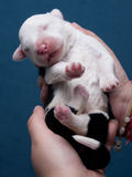 Newborn old English sheepdog Stock Photo