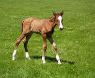 Newborn one day old foal Stock Images