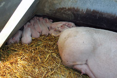 Newborn organic piglets Stock Photo
