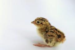 Newborn pheasant chicken Royalty Free Stock Photography
