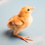 Newborn pheasant. Close-up. Stock Photography