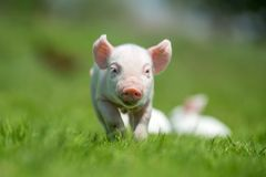 Newborn piglet on spring green grass. On a farm Royalty Free Stock Image