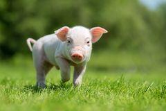 Newborn piglet on spring green grass Royalty Free Stock Photo