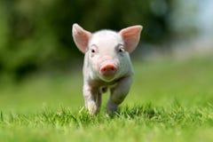 Newborn piglet on spring green grass. On a farm royalty free stock photos