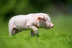 Newborn piglet on spring green grass Stock Photo