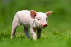 Newborn piglet on spring green grass. On a farm stock photography