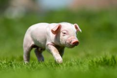Newborn piglet on spring green grass. On a farm stock images