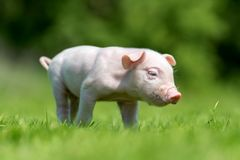 Newborn piglet on spring green grass. On a farm royalty free stock photography
