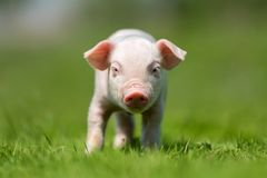 Newborn piglet on spring green grass. On a farm stock photo