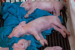 Newborn piglet After suckling pig was sleeping. Stock Photography