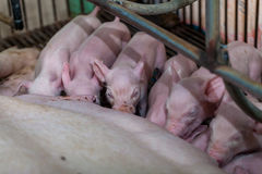 Newborn piglet Are vying for breastfeeding Royalty Free Stock Images