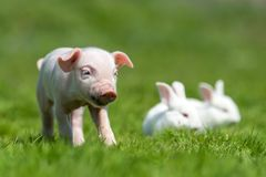 Piglet and white rabbit on spring green grass on a farm. Newborn piglet and white rabbit on spring green grass on a farm royalty free stock photos