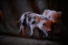 Newborn piglets came to be photographed. In the photographer`s studio in the village stock photos
