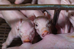 Newborn piglets fed milk from the mother pig, then fell asleep.  Royalty Free Stock Photography