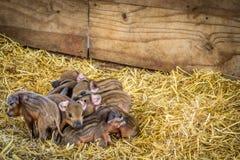 Newborn piglets Royalty Free Stock Photos