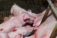 Newborn piglets are trying to suckle from its mother pig. Scramb. Le for the newborn piglet suckling pig mother stock images