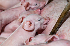 Newborn piglets are trying to suckle from its mother pig. Scramb. Le for the newborn piglet suckling pig mother royalty free stock photography