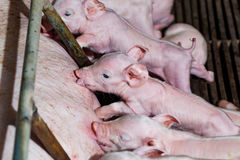 Newborn piglets are trying to suckle from its mother pig. Scramb. Le for the newborn piglet suckling pig mother stock image