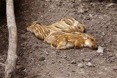 Newborn pigs. Sleep in wild wood Royalty Free Stock Photography