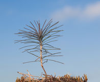 Newborn pine sprout Stock Photo