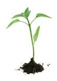 Newborn plant Royalty Free Stock Photos