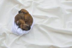 Newborn pomeranian щенята Стоковая Фотография