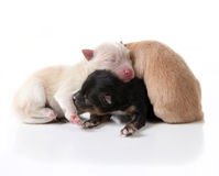 Newborn Pomeranian Puppy Dogs Lying On Top of Each Stock Images