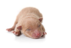 Newborn Pomeranian Puppy Sleeping Stock Images