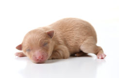 Newborn Pomeranian Puppy Sleeping on White Backgro Stock Photography