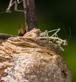 A newborn Praying mantis sitting on top of his light brown foamy nest. E view of a light brown, newborn Praying mantis on top of his egg case. In the background stock images
