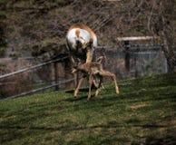 Newborn Pronghorn Antelope. Born this morning! Assiniboine Park Zoo, Winnipeg Royalty Free Stock Photo