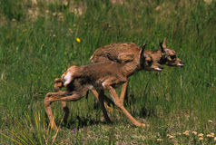 Newborn Pronghorn Fawns. Two newborn pronghorn antelope fawns taking their first steps Stock Photo