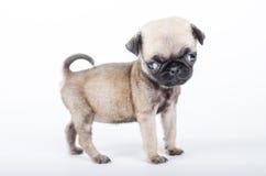 Newborn pug puppy Royalty Free Stock Photo