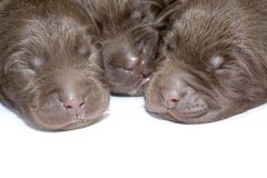Newborn puppies Royalty Free Stock Photos