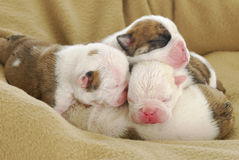 Newborn puppies Stock Images