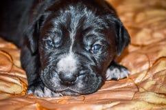 Newborn Puppies black dogs Cane Corso.  stock photos