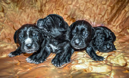 Newborn Puppies black dogs Cane Corso.  royalty free stock photo