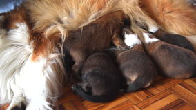 Newborn puppies breast feeding from mother Stock Images