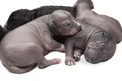 Newborn puppies Royalty Free Stock Photo
