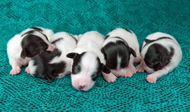 Newborn puppies Papillon Stock Photos