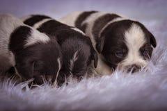 Newborn puppies on a white fuzzy blanket. Three black and white newborn puppies sleeping on a white fuzzy blanket Royalty Free Stock Photography