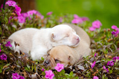 Free Newborn Puppies With Flowers Royalty Free Stock Photo - 56452675