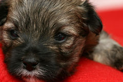 Newborn Puppy Royalty Free Stock Image