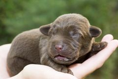 Newborn puppy Royalty Free Stock Photos