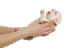 Newborn puppy Royalty Free Stock Photo