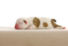 Newborn puppy Stock Images