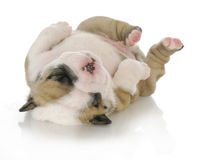 Newborn puppy Stock Photo