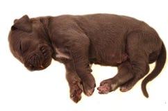 Newborn Puppy Royalty Free Stock Image