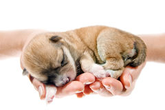Newborn puppy in the caring hands Royalty Free Stock Photography