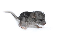 Newborn puppy of a chinchilla Stock Images